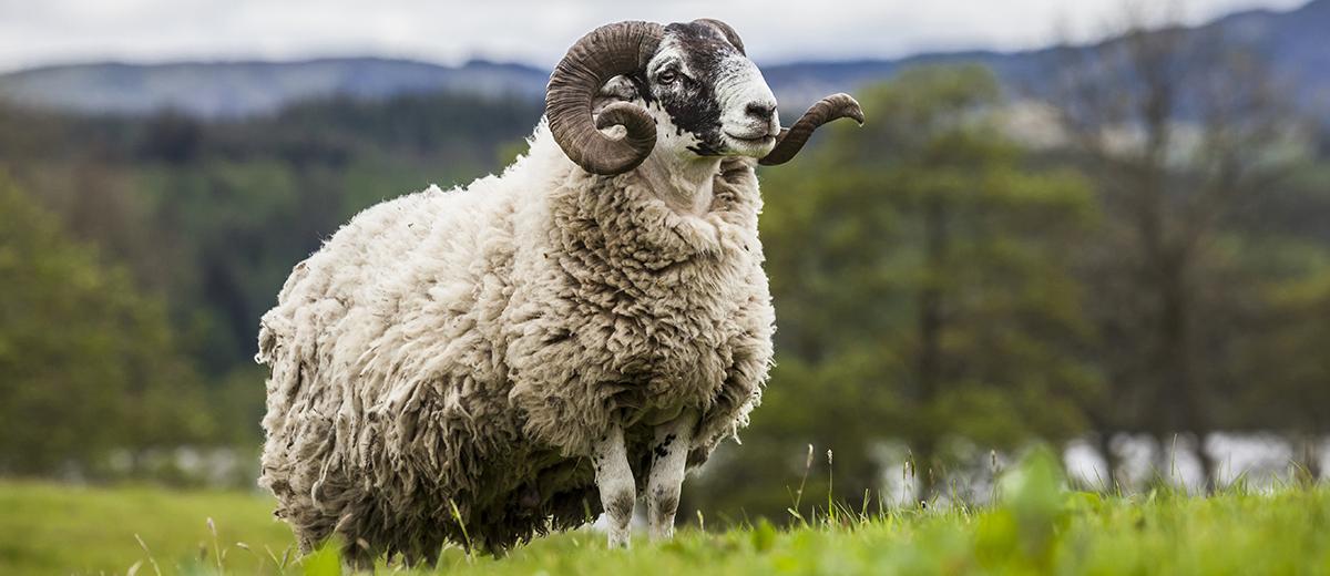 Las dos tienen lana. La de la derecha es natural.